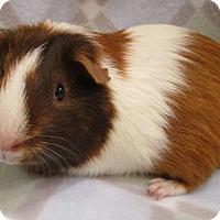 Adopt A Pet :: Mocha - Steger, IL