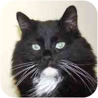 Domestic Longhair Cat for adoption in Coleraine, Minnesota - Soko
