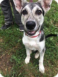 German Shepherd Dog/Husky Mix Puppy for adoption in Colmar, Pennsylvania - Loki