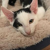 Adopt A Pet :: Kiki - Devon, PA