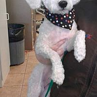 Adopt A Pet :: COSMO - Mesa, AZ