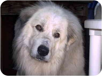Great Pyrenees Dog for adoption in Kyle, Texas - Biscuit-pending