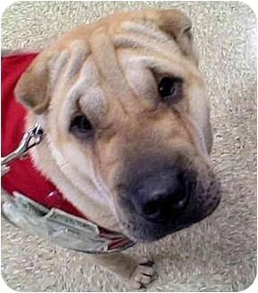 Shar Pei Puppy for adoption in Barnegat Light, New Jersey - Sara
