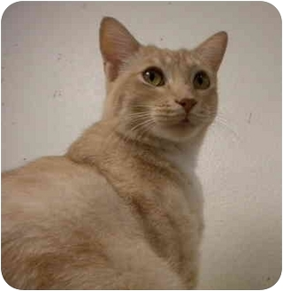 Domestic Shorthair Cat for adoption in San Diego, California - Beemer