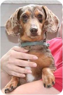 Dachshund Dog for adoption in Garden Grove, California - Freckles