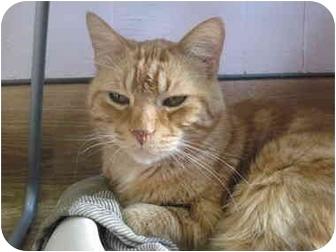 Domestic Shorthair Cat for adoption in Chicago, Illinois - Zeffirelli