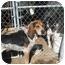 Photo 2 - Bluetick Coonhound/Treeing Walker Coonhound Mix Dog for adoption in Hayden, Idaho - Dan