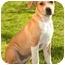 Photo 1 - Labrador Retriever/Beagle Mix Puppy for adoption in Marina del Rey, California - Lana
