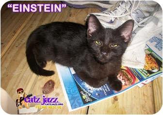 Domestic Shorthair Kitten for adoption in Cedar Creek, Texas - Einstein