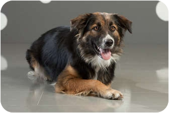 Australian Shepherd Mix Dog for adoption in Portland, Oregon - Princess