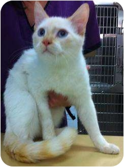 Colorpoint Shorthair Cat for adoption in Hendersonville, Tennessee - Topaz