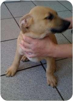 Labrador Retriever Mix Puppy for adoption in Cumming, Georgia - Jason