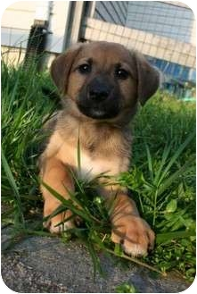Australian Shepherd/Labrador Retriever Mix Puppy for adoption in Cincinnati, Ohio - Eclipse