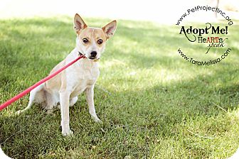 Terrier (Unknown Type, Small)/Australian Cattle Dog Mix Dog for adoption in Marseilles, Illinois - Lukie