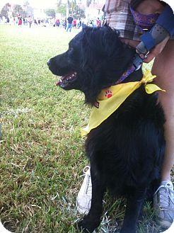 Labrador Retriever Dog for adoption in Ocean Ridge, Florida - Blaze