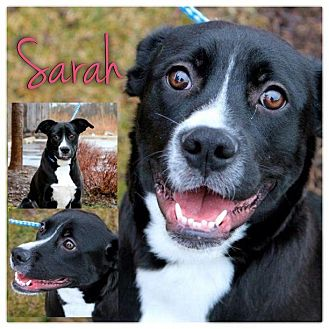 labrador retriever terrier mix sarah adopted dog garden city mi boston terrier 2325