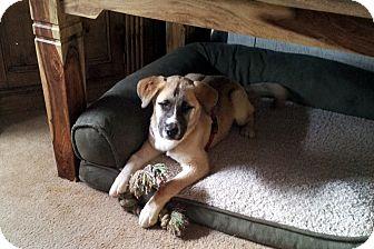 St. Bernard/Siberian Husky Mix Puppy for adoption in Denver, Colorado - Logan