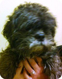 Shih Tzu/Poodle (Miniature) Mix Dog for adoption in Oswego, Illinois - Doogie Bowser