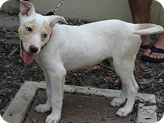 Labrador Retriever/Shepherd (Unknown Type) Mix Dog for adoption in Studio City, California - Nova