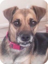Shepherd (Unknown Type) Mix Dog for adoption in Las Vegas, Nevada - Zenta
