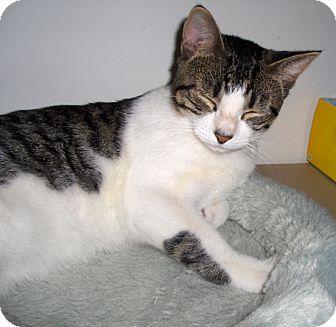 Domestic Shorthair Cat for adoption in Richmond, Virginia - Bumps