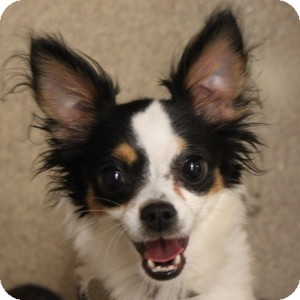 Chihuahua Mix Dog for adoption in Naperville, Illinois - Bella 2