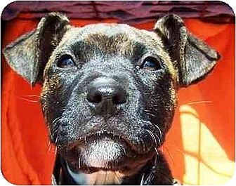 Boxer Mix Puppy for adoption in Old Fort, North Carolina - Mya