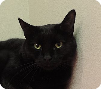 Domestic Shorthair Cat for adoption in Sioux City, Iowa - ABBIE