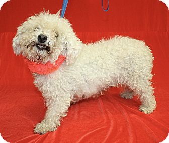 Toy Poodle Mix Dog for adoption in Jackson, Michigan - Lacy