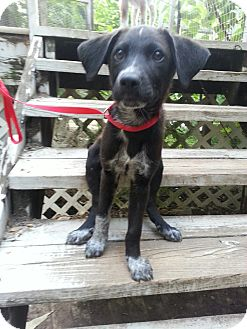 Australian Cattle Dog/Border Collie Mix Puppy for adoption in Vancouver, British Columbia - Trevor