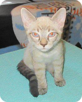Siamese Kitten for adoption in Palm Springs, California - Cotton