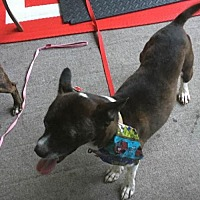 Boston Terrier/Dachshund Mix Dog for adoption in Charlotte, North Carolina - Zack