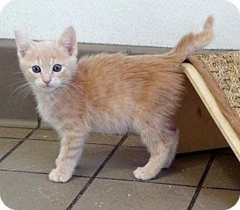 Domestic Shorthair Kitten for adoption in Lathrop, California - Sutter