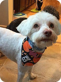 Poodle (Toy or Tea Cup)/Maltese Mix Dog for adoption in Gig Harbor, Washington - Benji - Pending Adoption