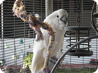 Cockatoo for adoption in Christmas, Florida - Mischief