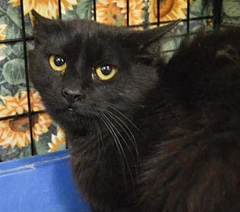 Domestic Shorthair Cat for adoption in Logan, Utah - Onyx