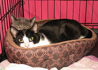 Domestic Shorthair Cat for adoption in Milford, Massachusetts - Charlotte and Lennie