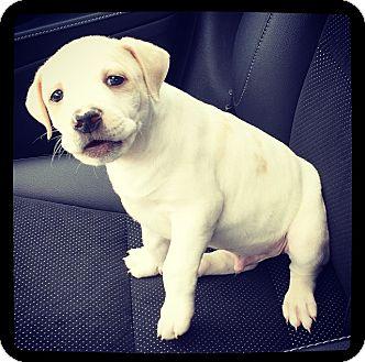 American Bulldog Mix Puppy for adoption in Grand Bay, Alabama - Benny
