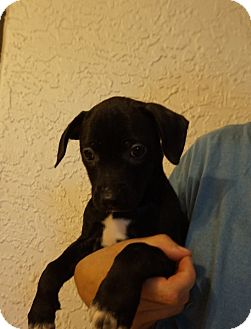 Jack Russell Terrier/Beagle Mix Puppy for adoption in Oviedo, Florida - Watermelon