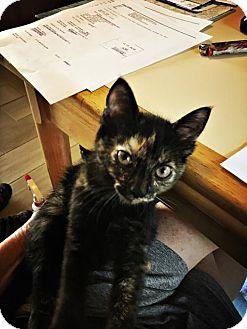 Domestic Mediumhair Kitten for adoption in Oviedo, Florida - Dahlia
