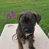 Adopt A Pet :: Joy - Albany, NC