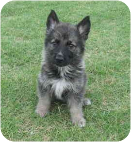 German Shepherd Dog Puppy for adoption in Pike Road, Alabama - Wyatt