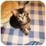 Photo 3 - Domestic Shorthair Kitten for adoption in Irvine, California - Kahlua
