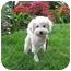 Photo 1 - Bichon Frise Mix Dog for adoption in La Costa, California - Spirit