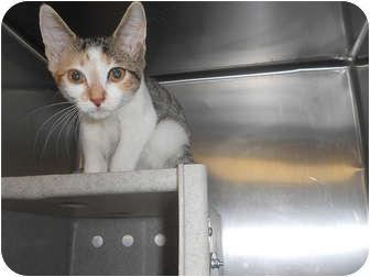 Domestic Shorthair Kitten for adoption in Philadelphia, Pennsylvania - Bambi
