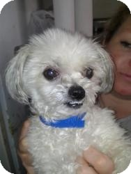 Maltese/Shih Tzu Mix Dog for adoption in Crown Point, Indiana - Bugaboo