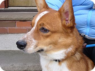 Corgi Dog for adoption in Brooklyn, New York - LEON