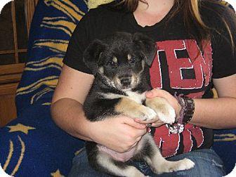 German Shepherd Dog Mix Puppy for adoption in Salem, New Hampshire - Mia