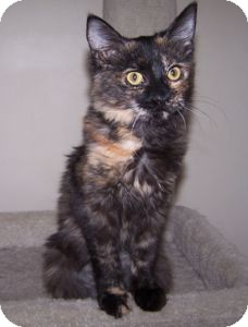 Domestic Shorthair Kitten for adoption in Colorado Springs, Colorado - K-Dave2-Iris