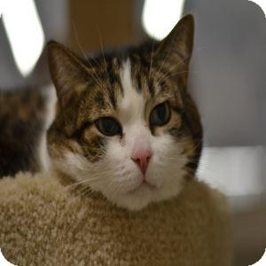 Domestic Mediumhair Cat for adoption in Gilbert, Arizona - Kenny